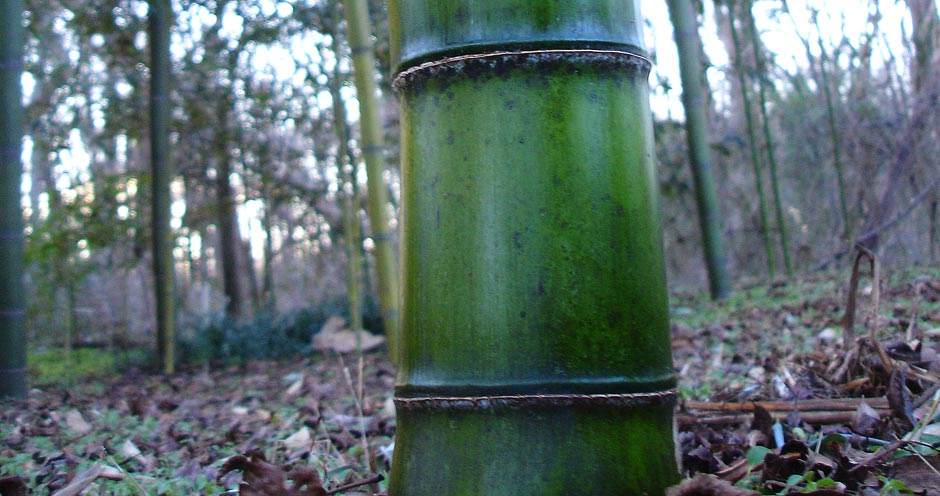 Bamboo For Sale North Carolina South Carolina | Charlotte Bamboo